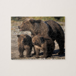 Brown bear, grizzly bear, sow with cubs looking jigsaw puzzles