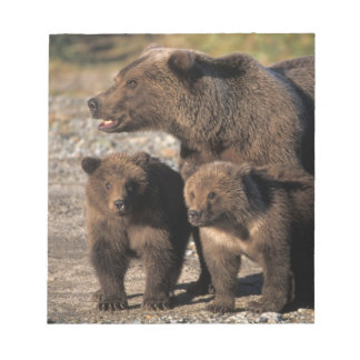 Brown bear, grizzly bear, sow with cubs looking notepad