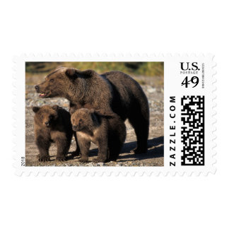 Brown bear, grizzly bear, sow with cubs looking postage