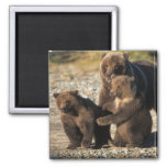 Brown bear, grizzly bear, sow with cubs on coast 2 inch square magnet