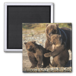 Brown bear, grizzly bear, sow with cubs on coast magnet
