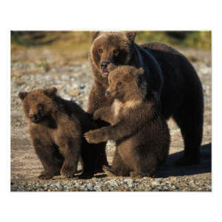 Brown bear, grizzly bear, sow with cubs on coast poster