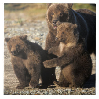 Brown bear, grizzly bear, sow with cubs on coast large square tile