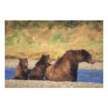 Brown bear, grizzly bear, sow with cubs, photo print