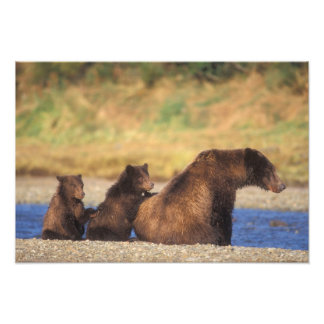 Brown bear, grizzly bear, sow with cubs, photo