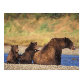 Brown bear, grizzly bear, sow with cubs, postcard