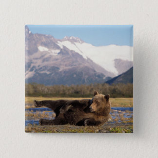 Brown bear, grizzly bear stretching on its back button
