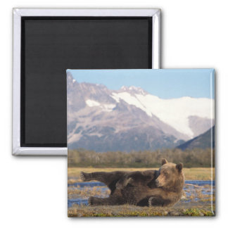 Brown bear, grizzly bear stretching on its back 2 inch square magnet