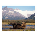 Brown bear, grizzly bear stretching on its back post card