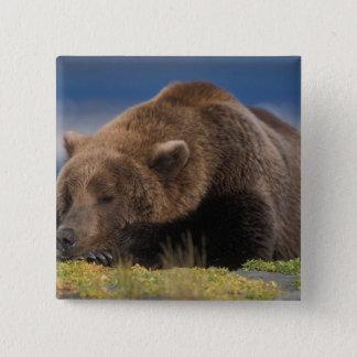 Brown bear, grizzly bear, taking a nap, Katmai Button