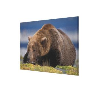 Brown bear, grizzly bear, taking a nap, Katmai Stretched Canvas Print