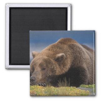 Brown bear, grizzly bear, taking a nap, Katmai Magnet
