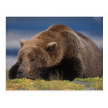 Brown bear, grizzly bear, taking a nap, Katmai Postcards