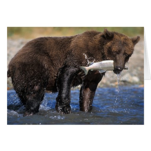 Brown bear, grizzly bear, with salmon catch, greeting card