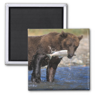 Brown bear, grizzly bear, with salmon catch, magnet