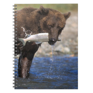 Brown bear, grizzly bear, with salmon catch, notebook
