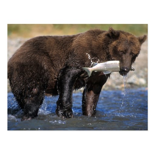 Brown bear, grizzly bear, with salmon catch, post cards