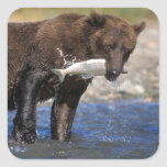 Brown bear, grizzly bear, with salmon catch, square sticker