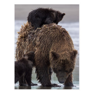 Brown Bear in Lake Clark National park Postcard