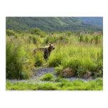 Brown bear in tall grass postcard