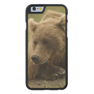 Brown bear, or Coastal Grizzly Bear, Ursus Carved® Maple iPhone 6 Slim Case