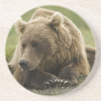 Brown bear, or Coastal Grizzly Bear, Ursus Coaster