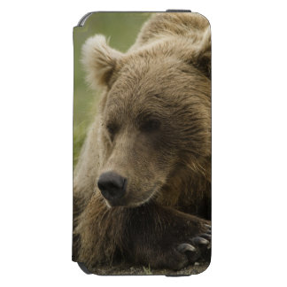 Brown bear, or Coastal Grizzly Bear, Ursus iPhone 6/6s Wallet Case