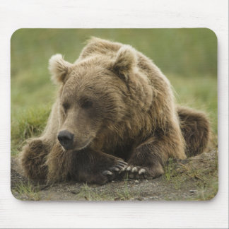 Brown bear, or Coastal Grizzly Bear, Ursus Mouse Pad