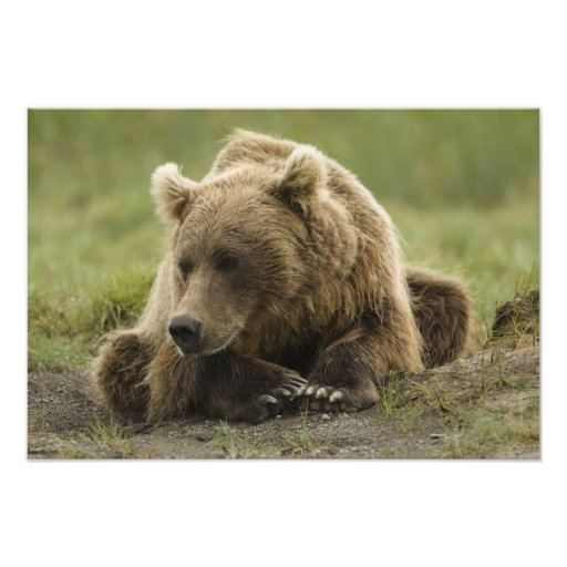 Brown bear, or Coastal Grizzly Bear, Ursus Art Photo
