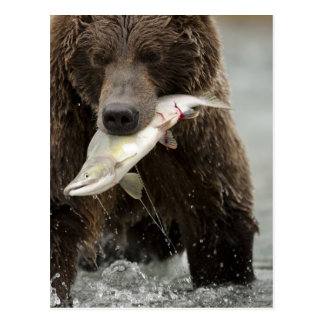 Brown bear, or Coastal Grizzly Bear, Ursus Postcard