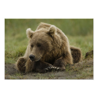 Brown bear, or Coastal Grizzly Bear, Ursus Poster