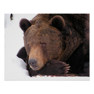 Brown Bear Resting on Snow Poster