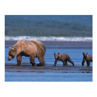 Brown Bear, Ursus arctos, Alaska Peninsula, 2 Postcard