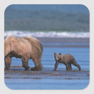 Brown Bear, Ursus arctos, Alaska Peninsula, 2 Square Sticker