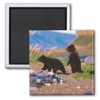 Brown Bear, Ursus arctos, Alaska Peninsula, Magnet