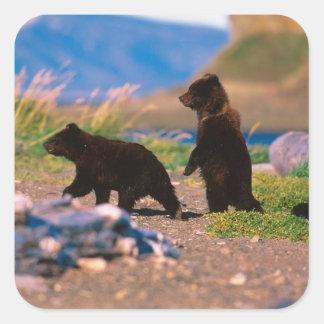 Brown Bear, Ursus arctos, Alaska Peninsula, Square Stickers