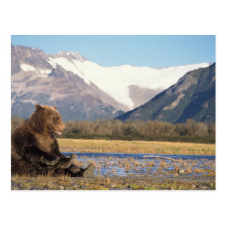 brown bear, Ursus arctos, grizzly bear, Ursus 2 Postcard