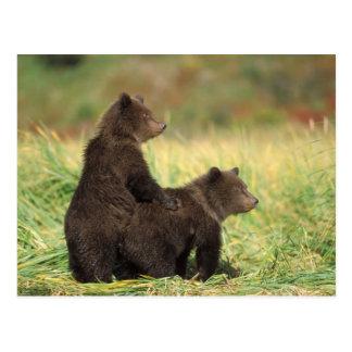 brown bear, Ursus arctos, grizzly bear, Ursus 2 Postcard