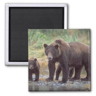 brown bear, Ursus arctos, grizzly bear, Ursus 3 Magnet