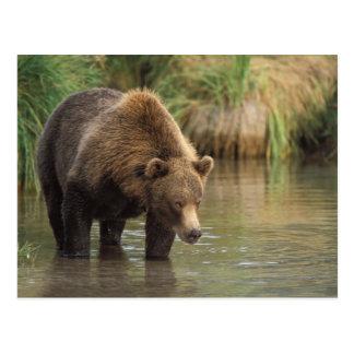 brown bear, Ursus arctos, grizzly bear, Ursus 3 Postcard