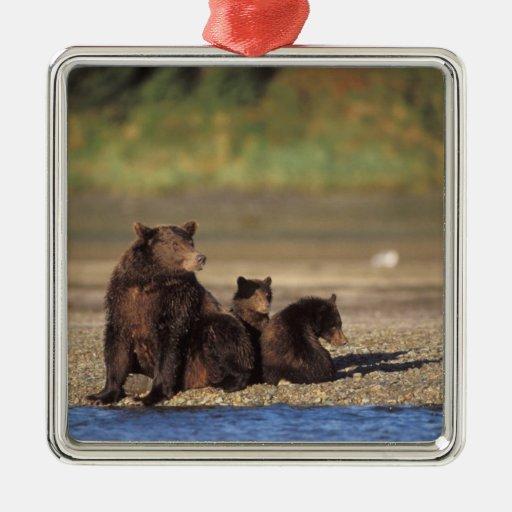 brown bear, Ursus arctos, grizzly bear, Ursus 4 Christmas Ornaments