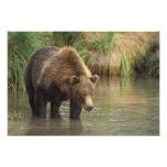 brown bear, Ursus arctos, grizzly bear, Ursus 4 Art Photo