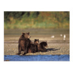 brown bear, Ursus arctos, grizzly bear, Ursus 4 Post Card
