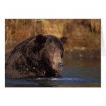 brown bear, Ursus arctos, grizzly bear, Ursus 5 Cards