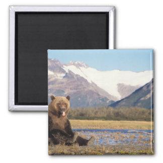 brown bear, Ursus arctos, grizzly bear, Ursus 5 Fridge Magnets