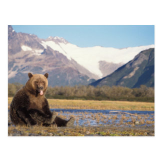 brown bear, Ursus arctos, grizzly bear, Ursus 5 Postcard