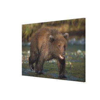 brown bear, Ursus arctos, grizzly bear, Ursus 6 Stretched Canvas Print