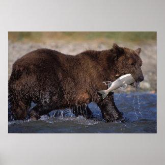 brown bear, Ursus arctos, grizzly bear, Ursus 6 Poster