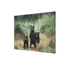 brown bear, Ursus arctos, grizzly bear, Ursus 7 Canvas Print