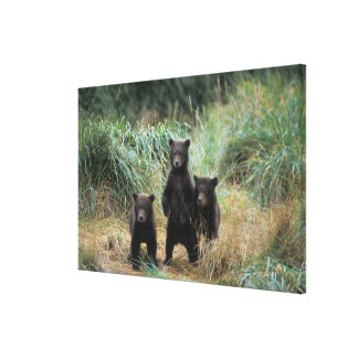 brown bear, Ursus arctos, grizzly bear, Ursus 7 Canvas Print